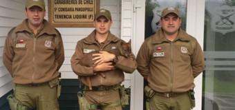 Carabineros logra rescatar Pudú mientras era atacado por jauría de perros en Carirriñe