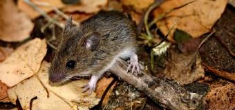 Entregan recomendaciones para prevenir contagios tras muerte de menor por Hantavirus en Huitag