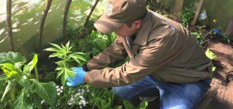 OS7 de Carabineros incauta 8 plantas de Marihuana en Panguipulli. Un sujeto fue detenido