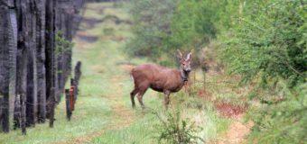 Investigan presunta caza de huemul en R.B. Huilo Huilo