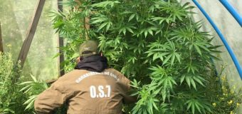 Incautan Marihuana de cultivo en invernadero en Melefquén