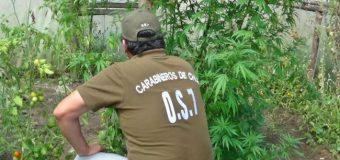 Carabineros encontró otro cultivo de Marihuana en cercanías de Coñaripe