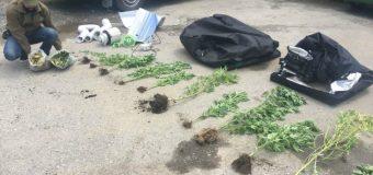 Detienen a menor de edad e incautan 17 plantas de marihuana en Huellahue