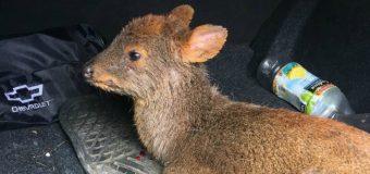 Rescatan en Lago Neltume a Pudú que era atacado por perros