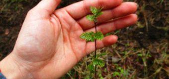 Reforestación en Liquiñe es usada como ejemplo internacional