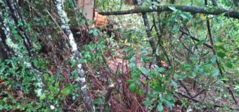 Lanco | Hallan cuerpo de hombre que habría muerto talando un árbol