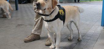 """Con el can """"Anker"""", PDI incautó en Lanco más de 3 millones de pesos en droga"""