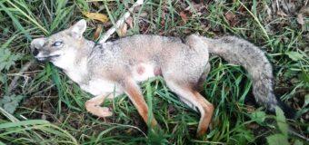 SAG rescata especie atropellada tras preocupación de vecinos en Cari Cui Cui