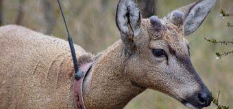 Dos más este mes: Plan de conservación del Huemul de Huilo Huilo suma más de 20 especies en hábitat natural