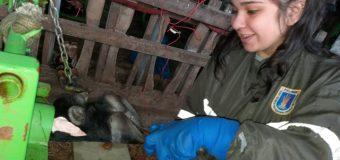 Estudiantes del Liceo Bicentenario PHP Pullinque se capacitan en manejo y tratamiento de cojeras en bovinos