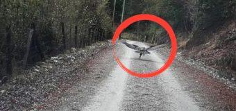 Carabineros rescató pichón de Cóndor en las cercanías de Liquiñe