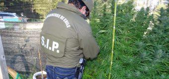 Hallan cultivo con 20 plantas de Marihuana en Pichidollinco