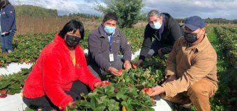 Con apoyo de Indap familias mapuche de Mariquina apuestan por la producción de frutillas